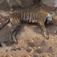 Over thirty tigers dead in more than four months: Govt