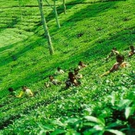 Tea prices to rise in 2012 on supply shortage, wage hike